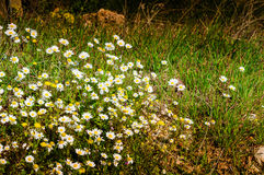 Daisy Field In ein Tag des Frühlinges Lizenzfreie Stockfotos