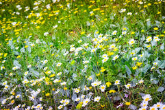 Daisy Field In ein Tag des Frühlinges Lizenzfreies Stockbild