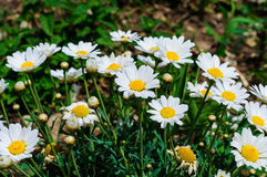 Daisy Field In ein Tag des Frühlinges Stockfotos