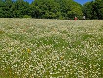 Daisy field at The Expo& x27;70 Commemorative Park, Osaka, Japan Stock Photos