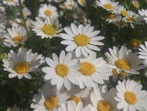 Daisy Field Flores blancas Paisaje del resorte Imagen de archivo