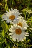 Daisy in the field. Flowers Daisy field in summer Stock Photos