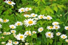 Daisy field in the garden Stock Photos