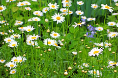 Daisy field in the garden Stock Photography
