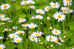 Daisy field in the garden Royalty Free Stock Photography