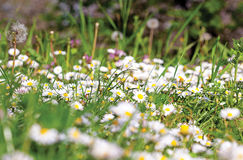 Daisy field. Grass field full of white daises and dandelions Stock Images