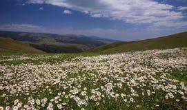 Daisy field stock photography