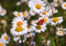 Daisy field royalty free stock photography