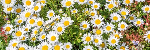 Daisy field panoramic background. Daisy field panoramic flower and garden background Stock Photo