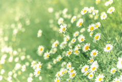 Daisy field Royalty Free Stock Photography