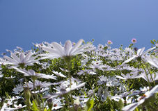 Daisy field and sky Royalty Free Stock Photography