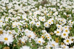 Daisy field in spring Stock Photos