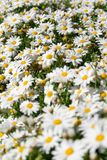 Daisy field in spring Royalty Free Stock Photo