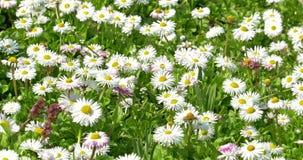 Daisy Field In Spring blanca almacen de video