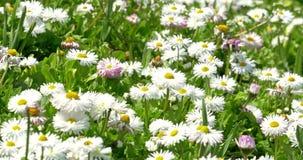 Daisy Field In Spring blanca almacen de metraje de vídeo