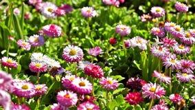Daisy Field In Spring rosada almacen de video