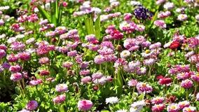 Daisy Field In Spring rosada metrajes