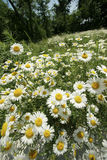 Daisy field in summer Stock Photos