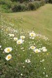 Daisy field in summertime Stock Photos