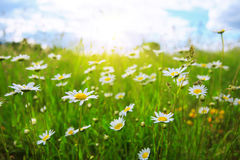 Daisy field in the sunny summer day. Royalty Free Stock Image