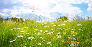 Daisy field in the sunny summer day. Royalty Free Stock Images