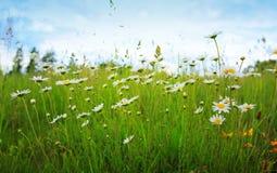 Daisy field in the sunny summer day. Stock Photos