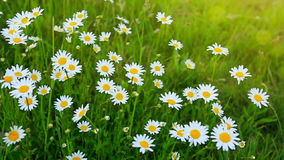 Daisy field in the sunny summer day. Summer landscape with daisy field and green grass stock video footage