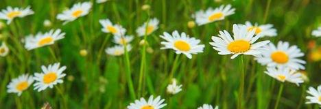 Daisy field in the sunny summer day. Stock Photo