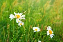 Daisy field in the sunny summer day. Royalty Free Stock Photos