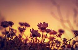 Daisy field on sunset. Beautiful daisy field on sunset light, silhouette of little gentle white flowers on orange evening sky background, beauty of wild nature royalty free stock photo
