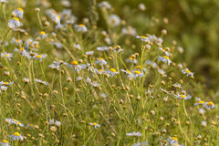 Daisy Field in Sunset Light. Royalty Free Stock Photo