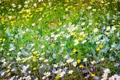 Daisy Field In un il giorno della primavera Immagine Stock Libera da Diritti