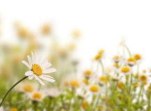 Daisy field, white background royalty free stock image