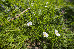Daisy field. White flowers daisy ona a grass field Stock Photo