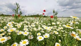 Daisy field stock video