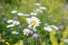 Daisy in field of yellow, purple, and white wildflowers Stock Photos