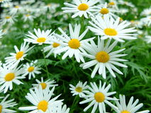 Daisy fine day. Daisies close up picture in full bloom Royalty Free Stock Photography