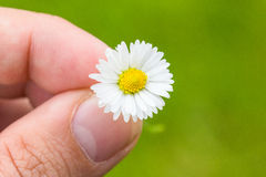 Daisy Between Fingers Macro With Green Background Stock Photos