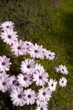 daisy, fioletowy kwiat Zdjęcia Royalty Free