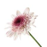 daisy fioletowy white Zdjęcie Royalty Free