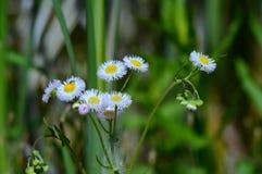 Daisy Flea-Bane Wildflower Blossoms royalty-vrije stock fotografie
