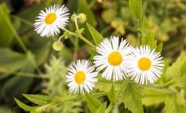 Daisy Fleabane-Blumen, die in der Sommerzeit blühen lizenzfreie stockfotografie