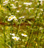 Daisy Fleabane, Erigeron annuus Royalty Free Stock Photo