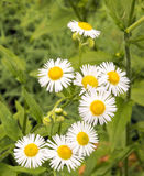 Daisy Fleabane, Erigeron annuus Royalty Free Stock Photos