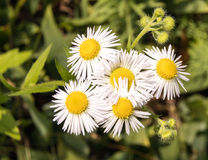 Daisy Fleabane, Erigeron annuus Royalty Free Stock Photography