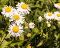 Daisy Fleabane, Erigeron annuus Stock Photo