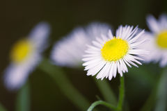 Daisy fleabane. Erigeron annuus.Daisy fleabane is a delicate wildflower that measures approximately 30-150 cm royalty free stock image
