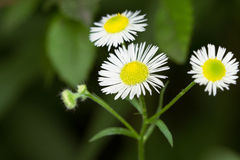 Daisy fleabane Royalty Free Stock Photos