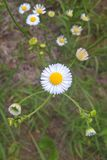 Daisy Fleabane Royalty Free Stock Photo