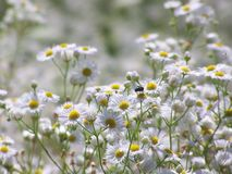 Daisy fleabane flowers with fly on sunny meadow stock image